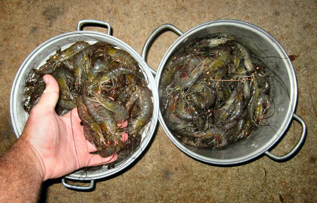 two buckets full of florida shrimp