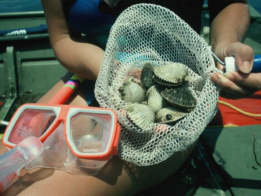 A net full of bay scallops.