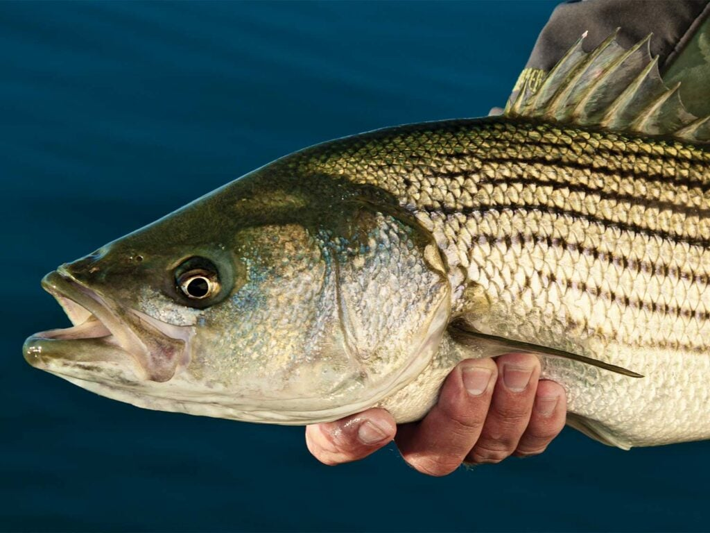 angler holding a striped bass