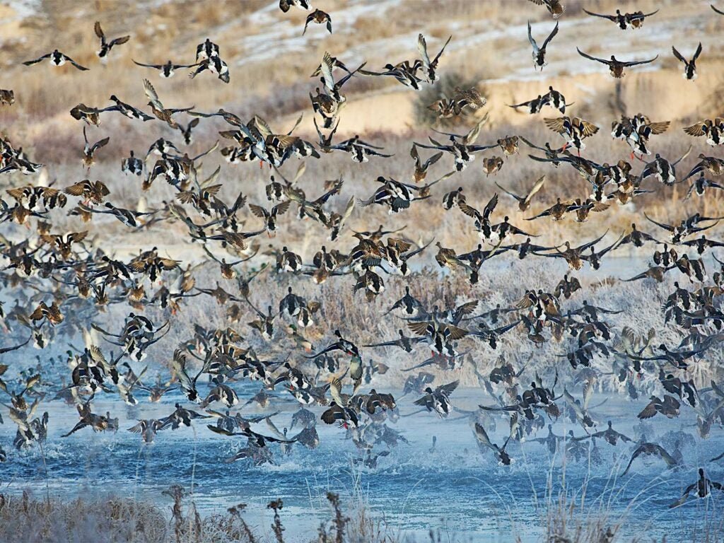 a massive flock of waterfowl