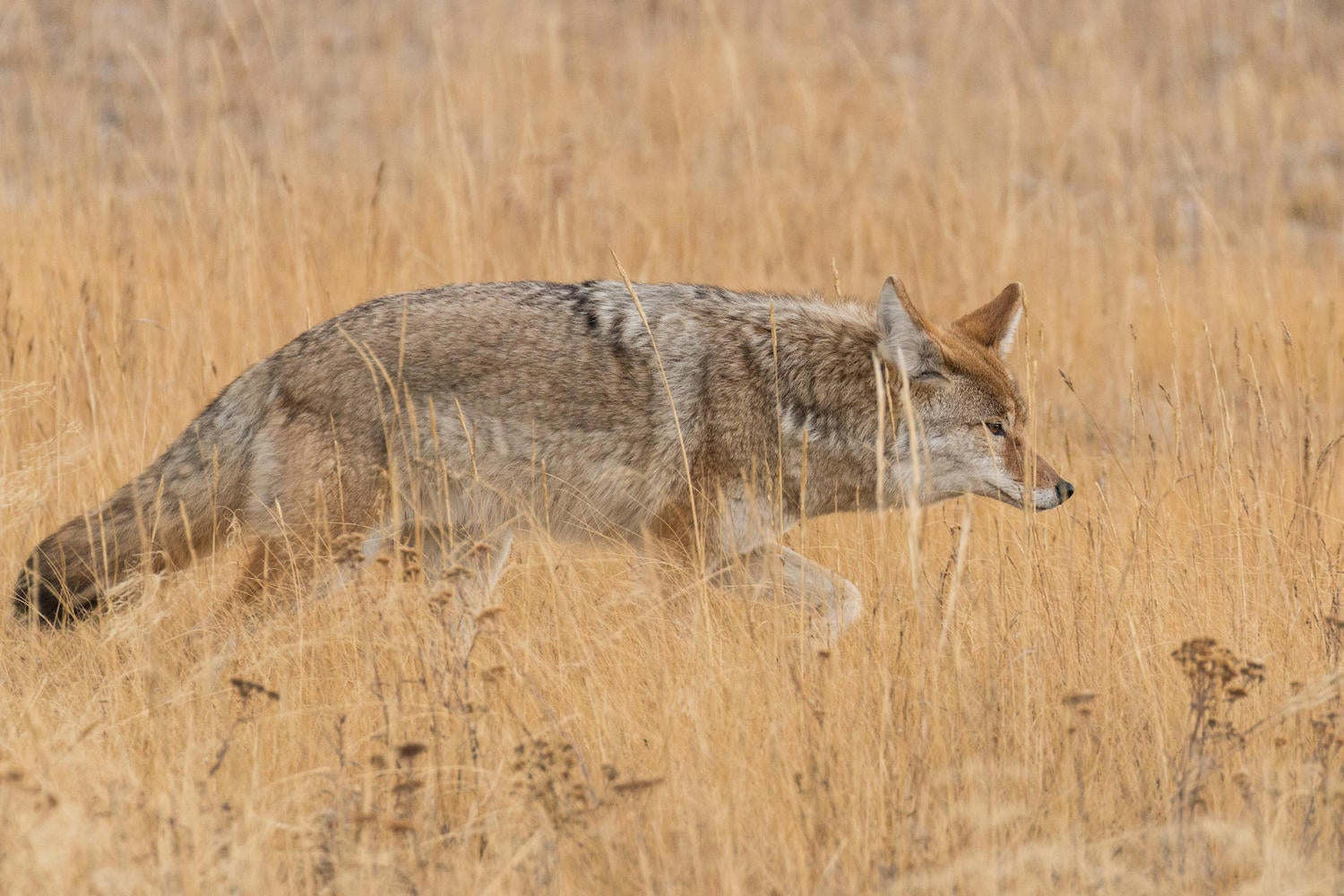 Why Shotguns Are Better Than Rifles for Coyote Hunting