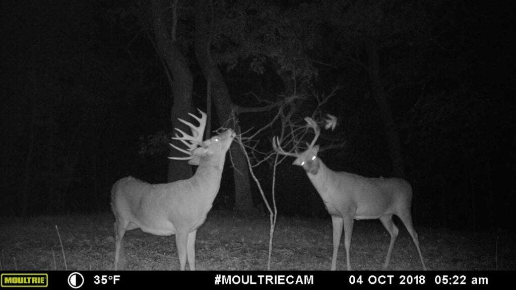 trail camera photo of two bucks