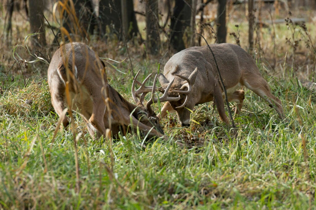 whitetail bucks fighting during the rut