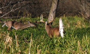 Hunting Tactics for 6 Stages of the Whitetail Rut