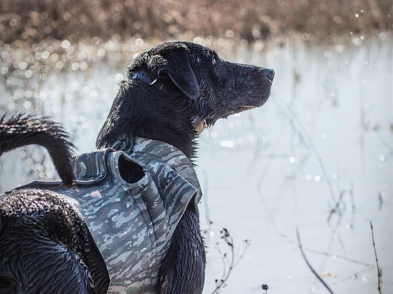 a black lab waterfowl hunting dog
