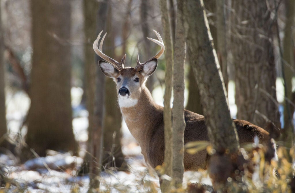 A white tailed deer in the forest.