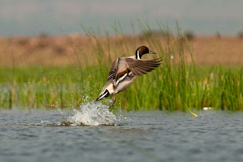 A northern pintail taking off on the water.