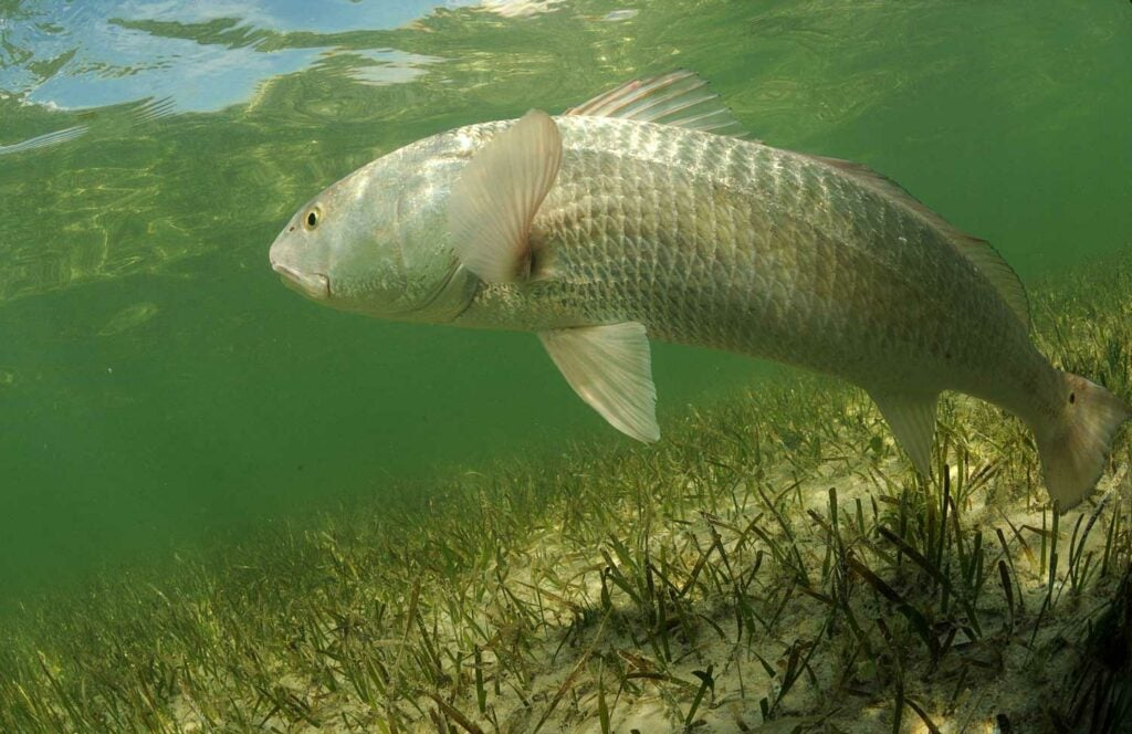 a redfish underwater