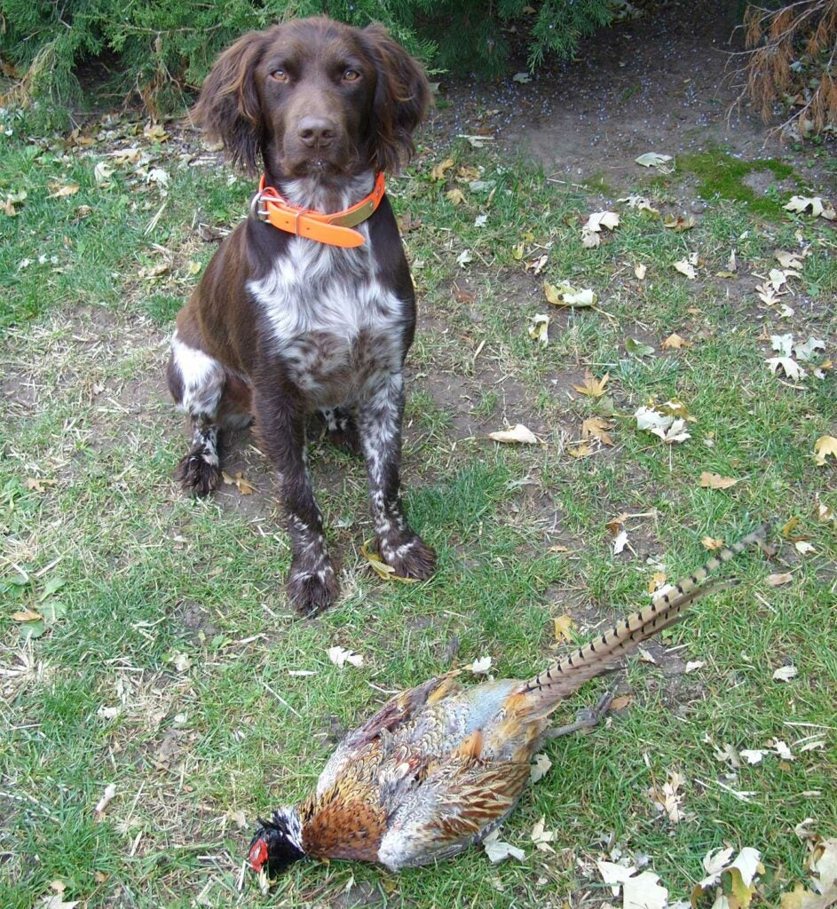 a Munsterlander pointer and a rooster pheasant