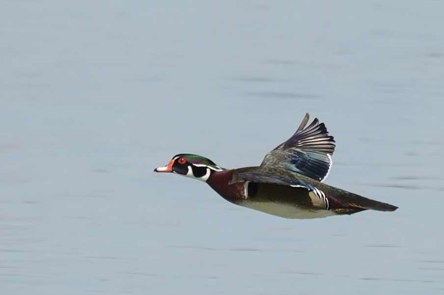 a wood duck in flight