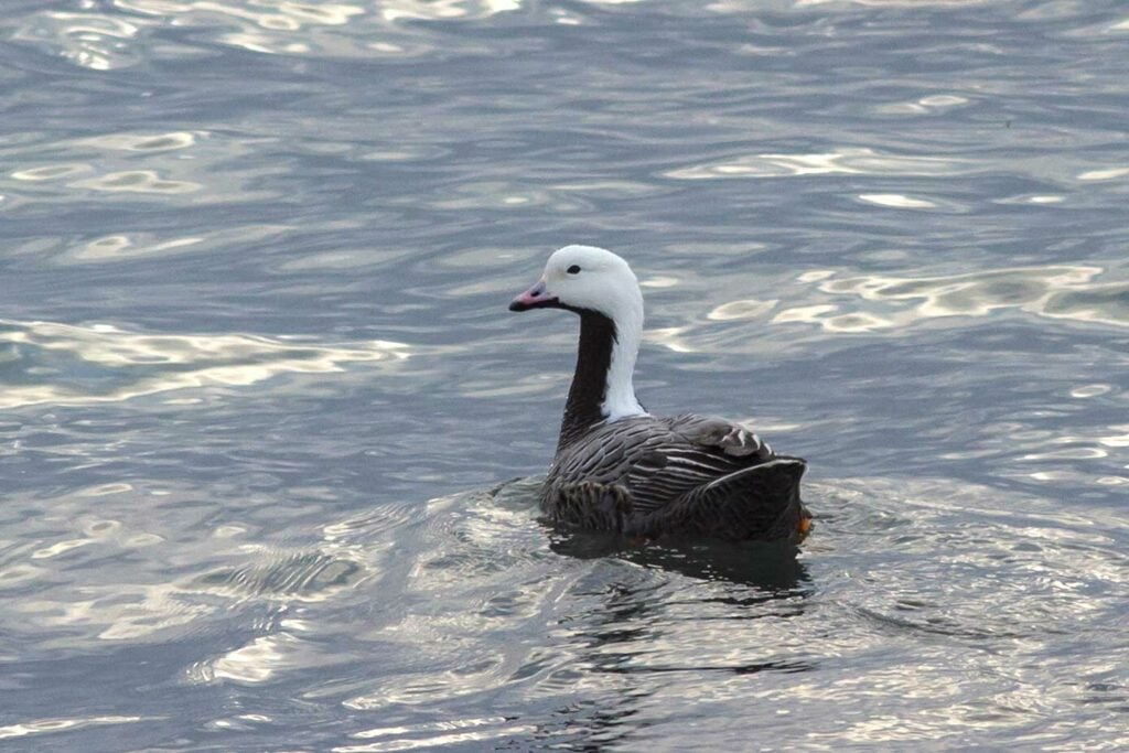 Emperor geese floating in water