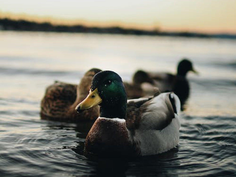 Ducks in water behind sunset