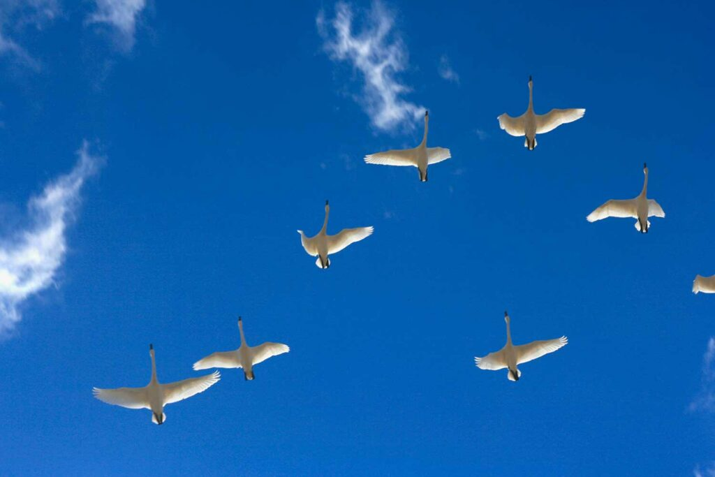 A flock of tundra swans flying overhead.