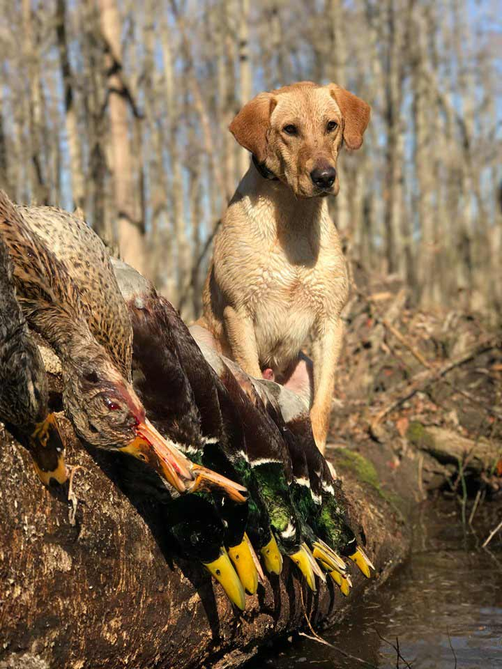 a hunting dog with waterfowl