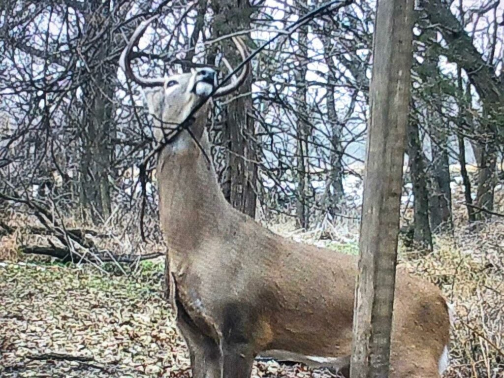 a whitetail buck near a licking branch and mock scrape