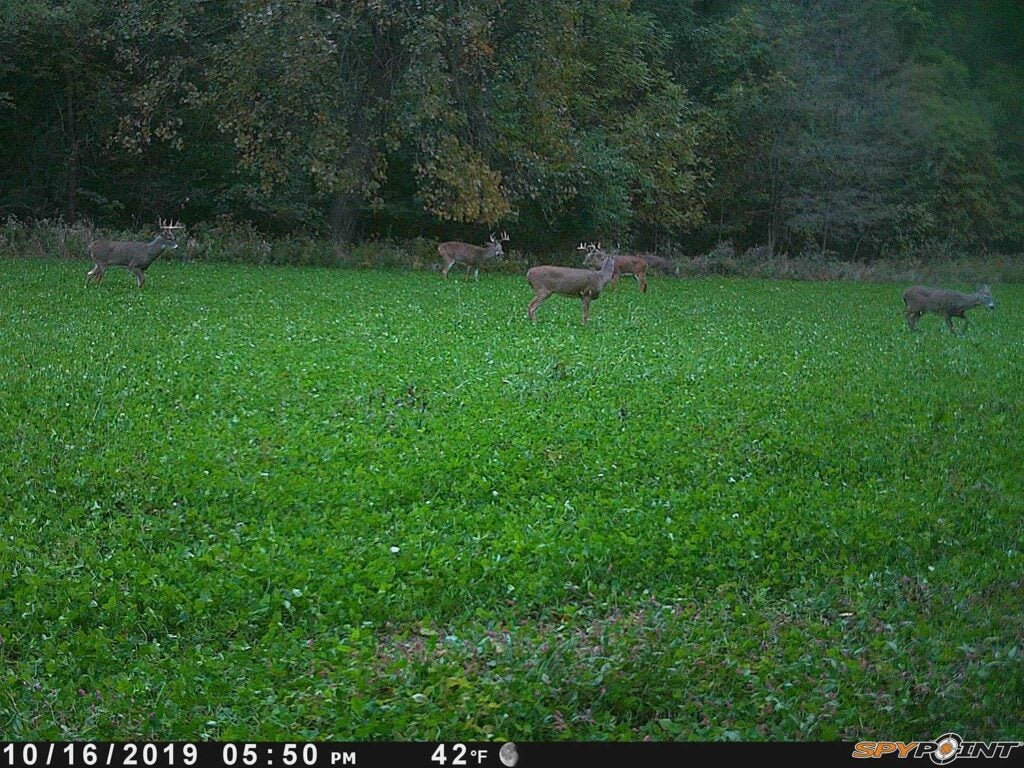 a trail camera image of deer in a food plot.