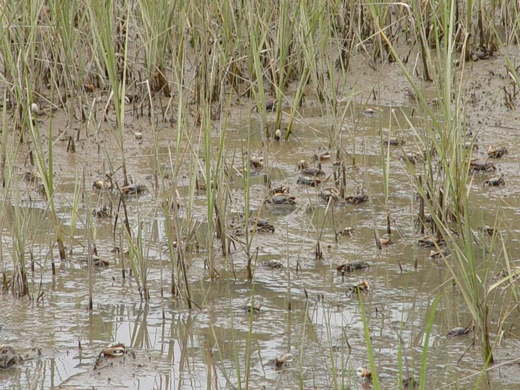 An army of fiddler crabs in a Florida marsh.