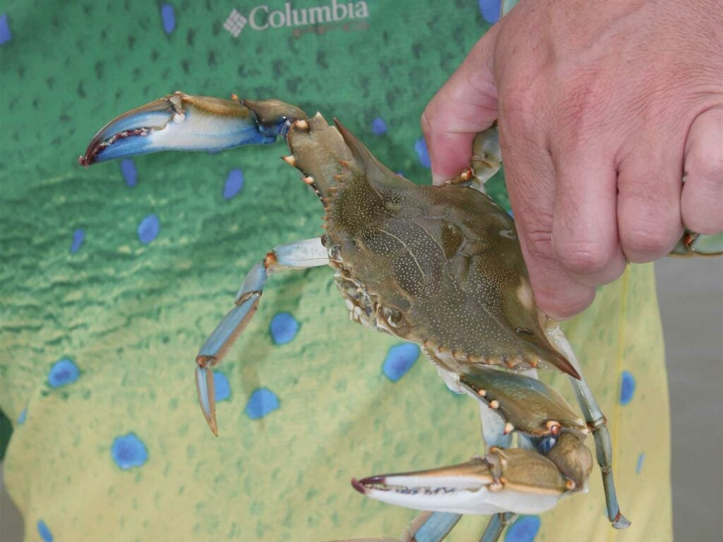 a blue crab being held by an angler