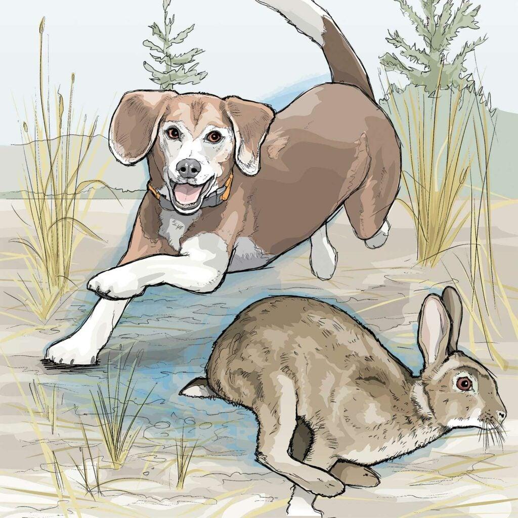 Illustration of a beagle chasing a rabbit.