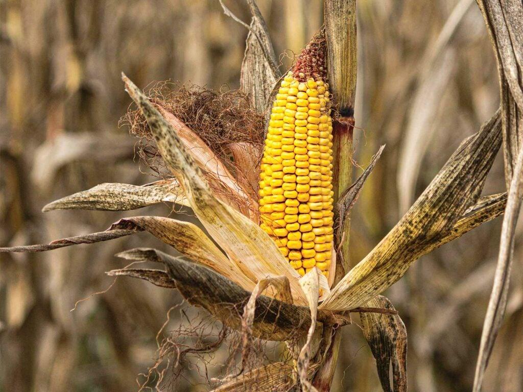corn on a stalk.