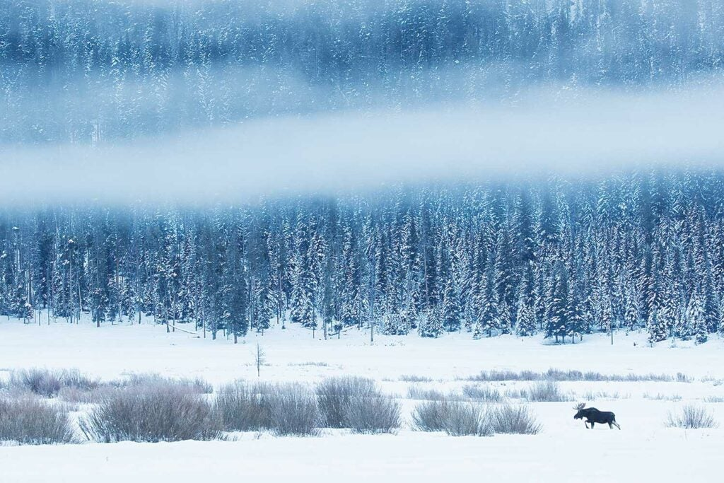 A bull moose wades through a snow-swept drainage in Montana.