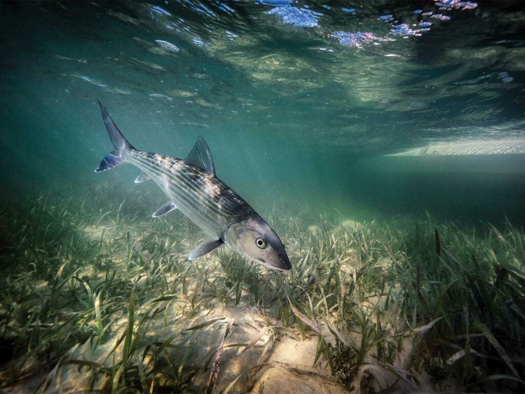 Underwater image of a bonefish.