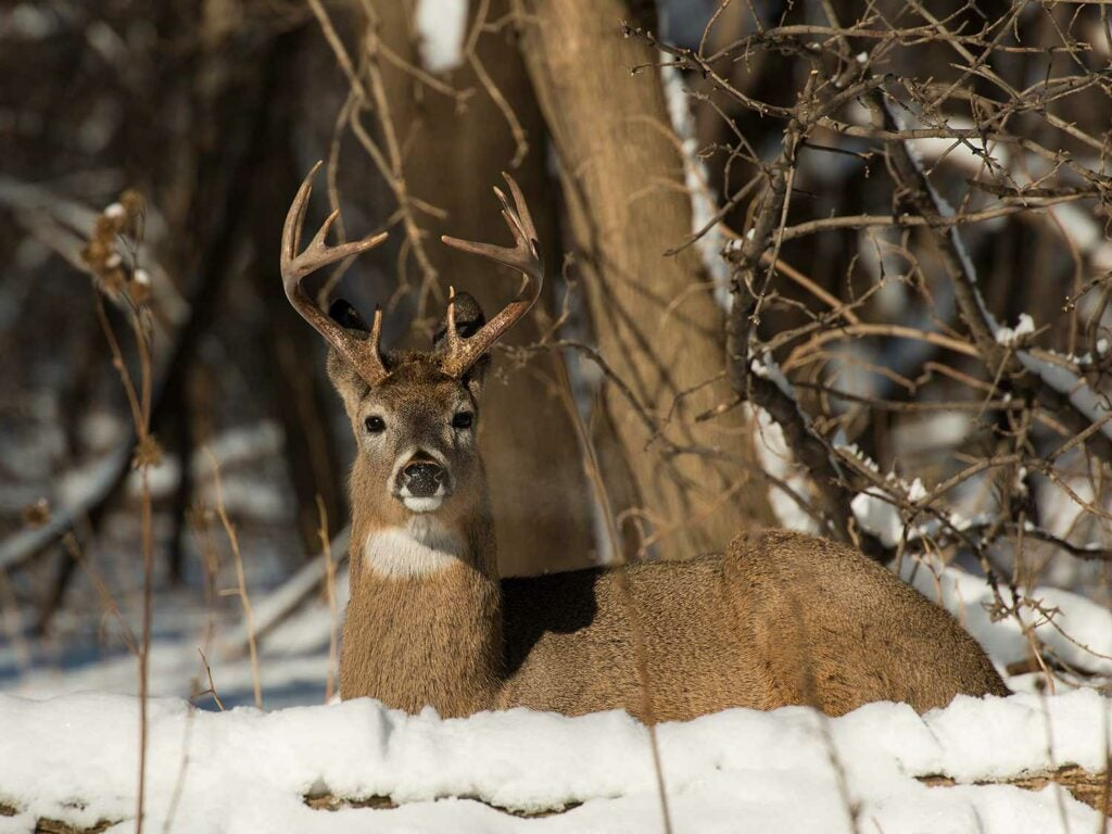 a buck bedding down in the snow.