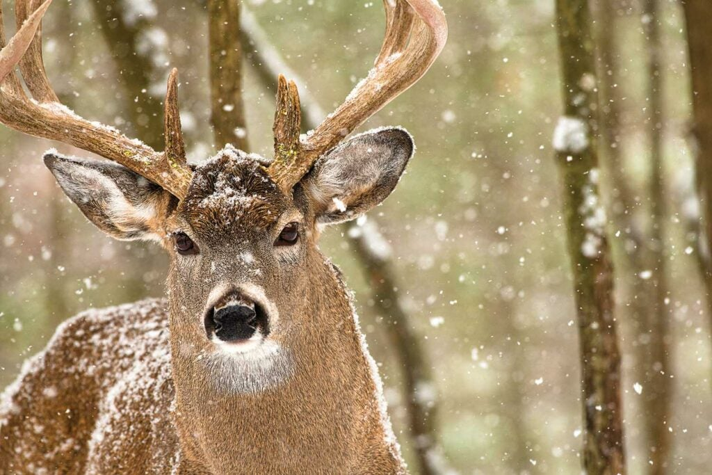 An Ontario buck slips back to its bedroom during a snowstorm.