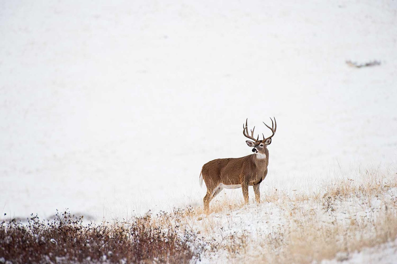 150-class Montana buck scans the snow-dusted prairie.