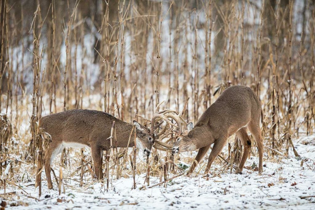 A pair of stud whitetails lock antlers in December