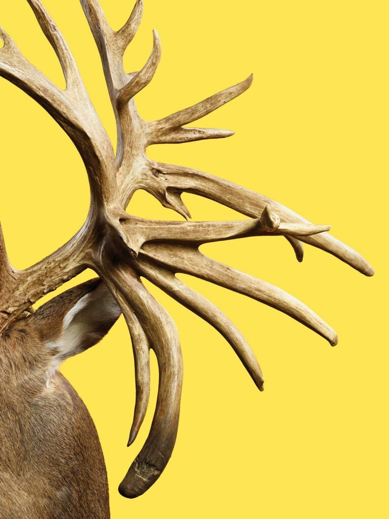Closeup details of a world-record trophy whitetail deer antlers.