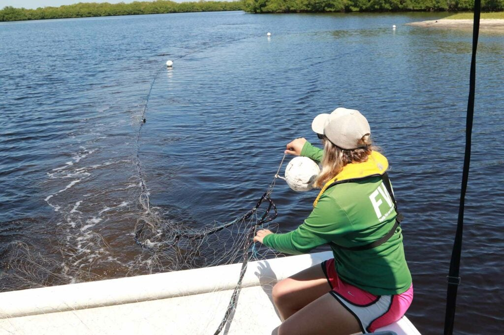 Gill nets placed around shallow estuary pockets is the primary collection method for sawfish sampling.