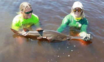 The Fight to Save the Sawfish