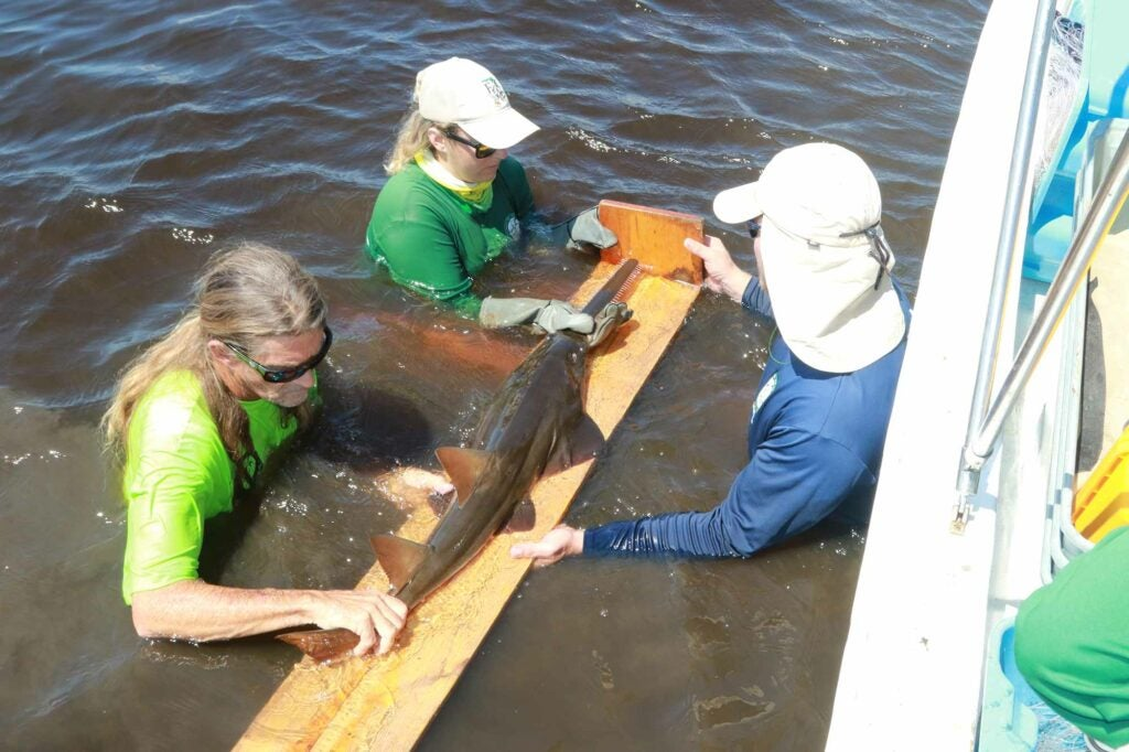 The FWRI team measures the sawfish's overall length and rostrum (saw) length.