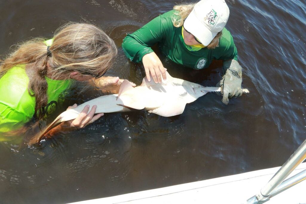A captured sawfish gets a thorough top-to-bottom exam to check for parasites, injuries or scars.