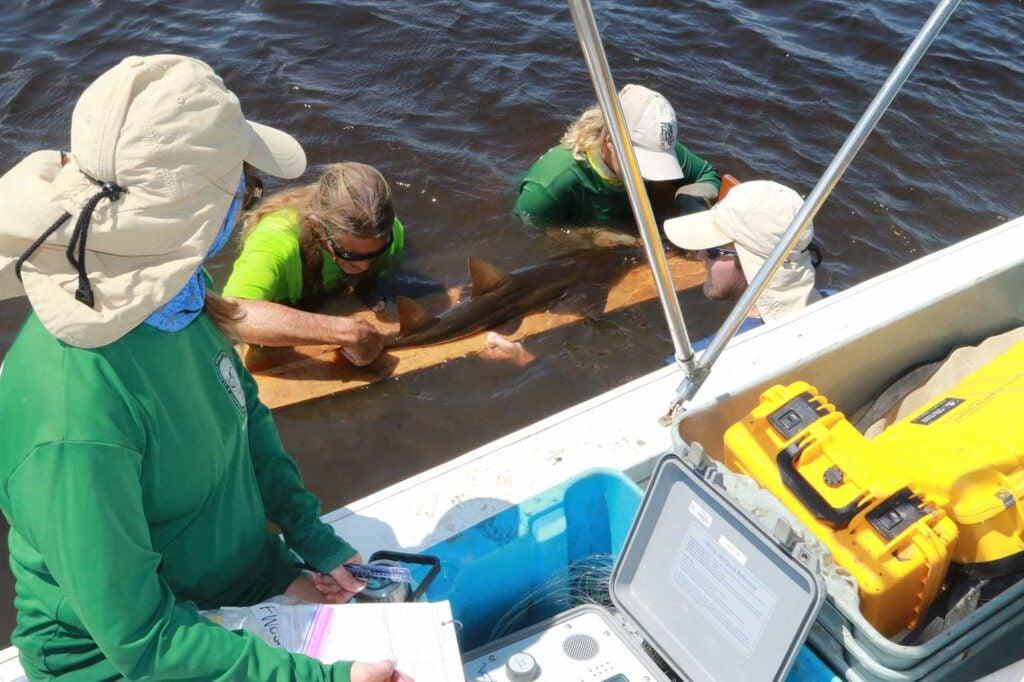 Team leader Rachel Scharer records sawfish measurements from her team's exam.