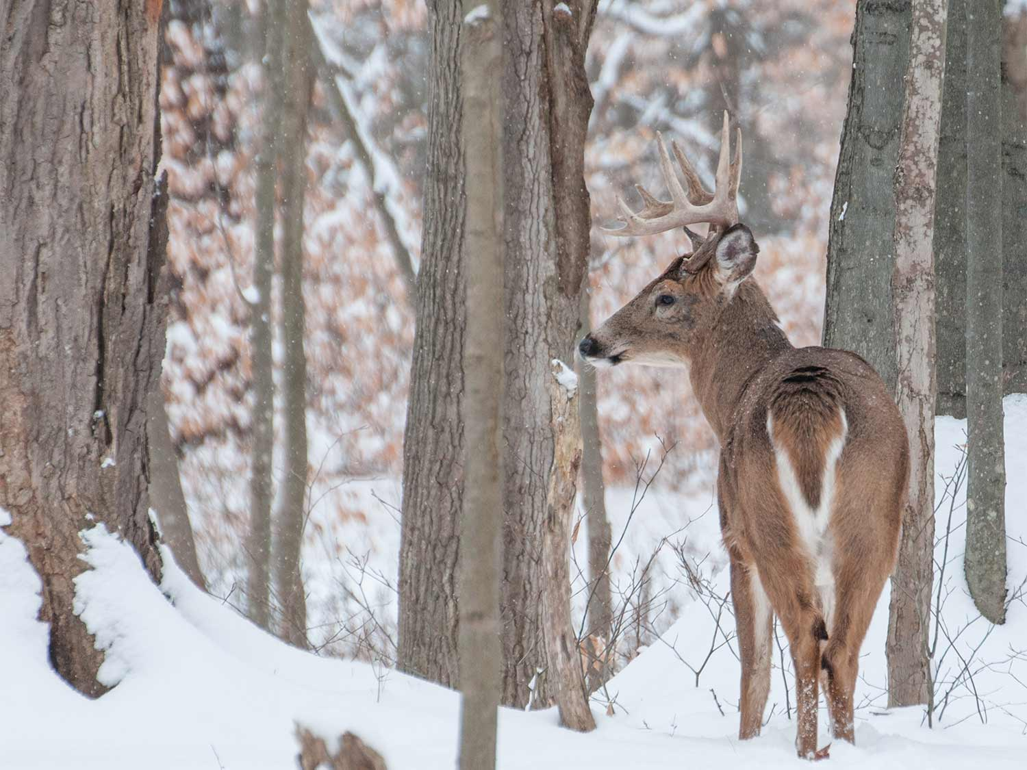 A big-woods 10-point whitetail buck moves through the timber.