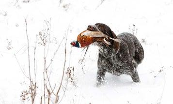 8 Tips for Bagging More Late-Season Pheasants