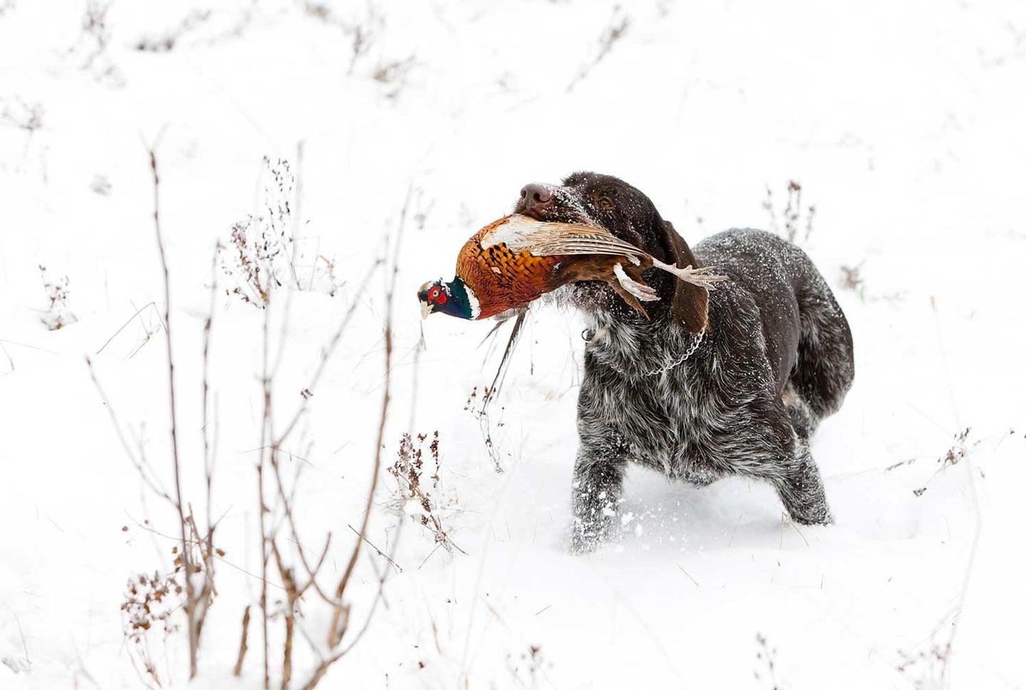 Hunting dog retrieving a late-season pheasant in the snow.