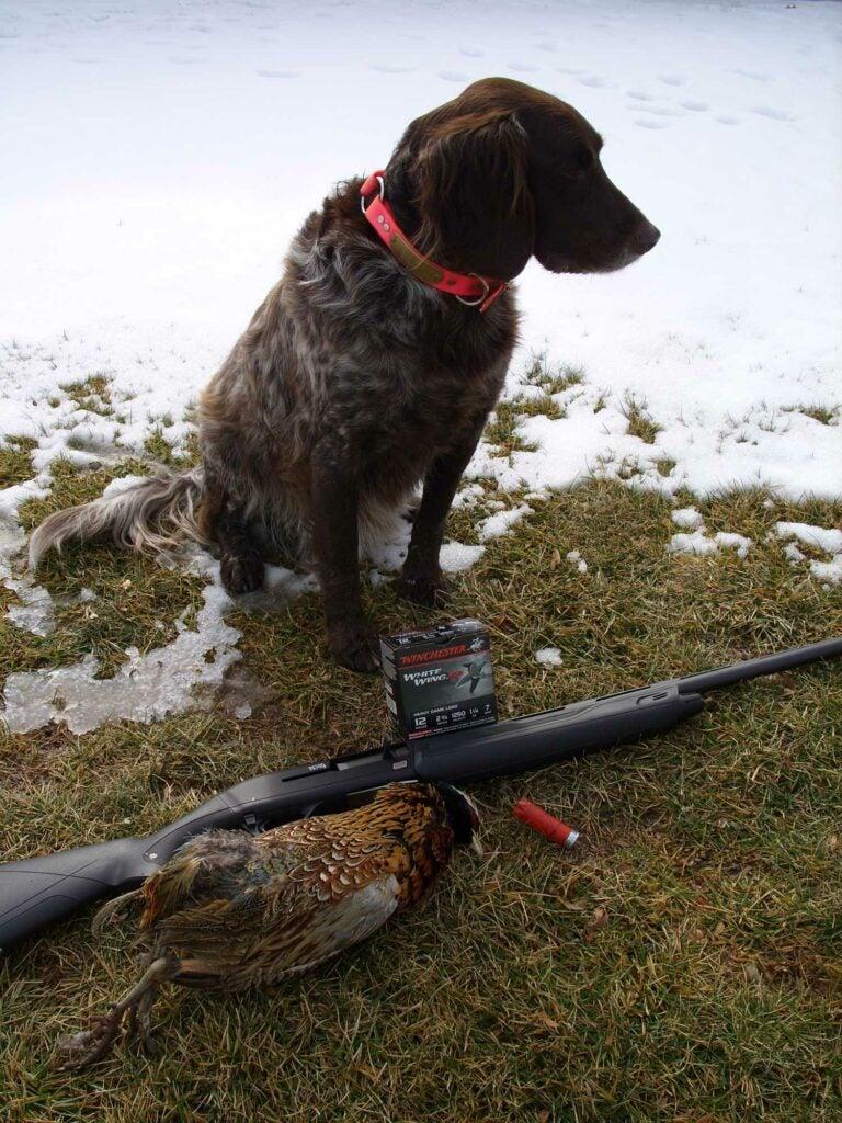 Hunting dog sitting beside a late-season pheasant.