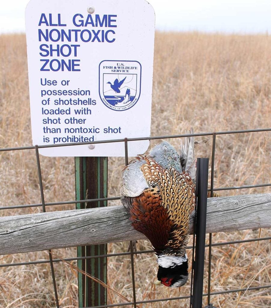 A pheasant hanging on a fence.