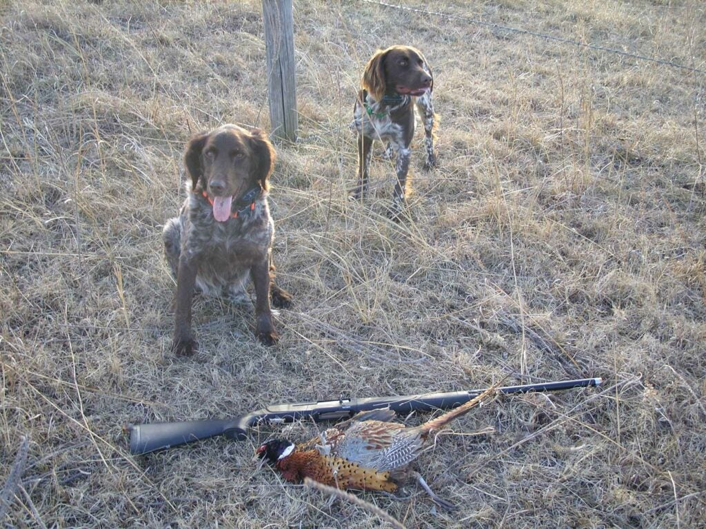 Two hunting dogs sitting next to a rifle and pheasant.