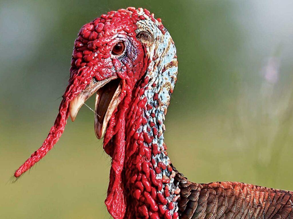 Rio grande turkey gobbler in spring habitat.