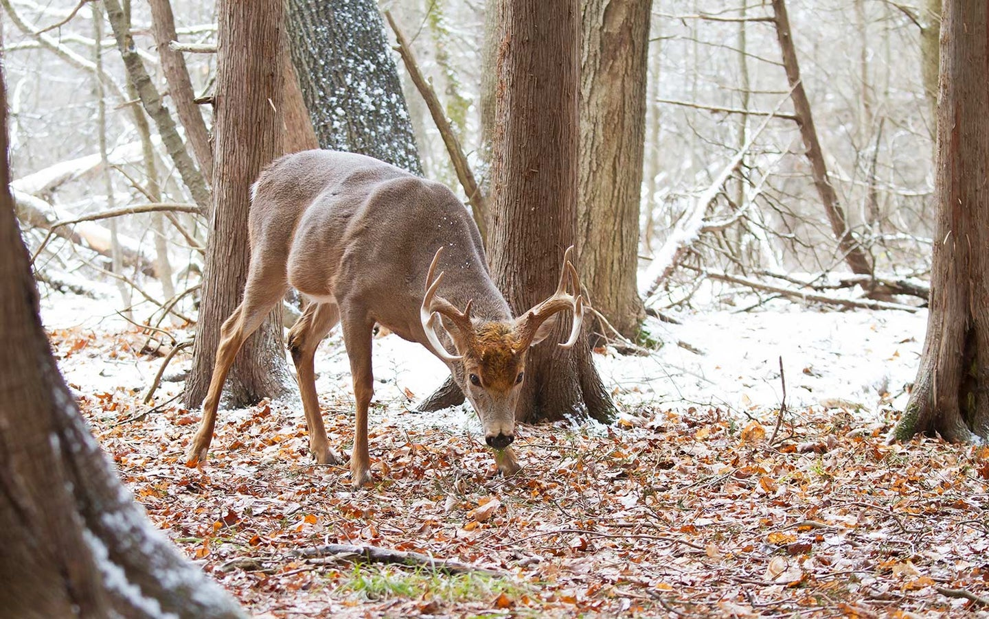 A buck searching for food after the rut.