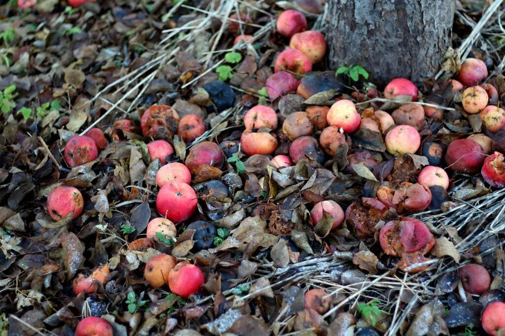 Leftover apples on the ground.