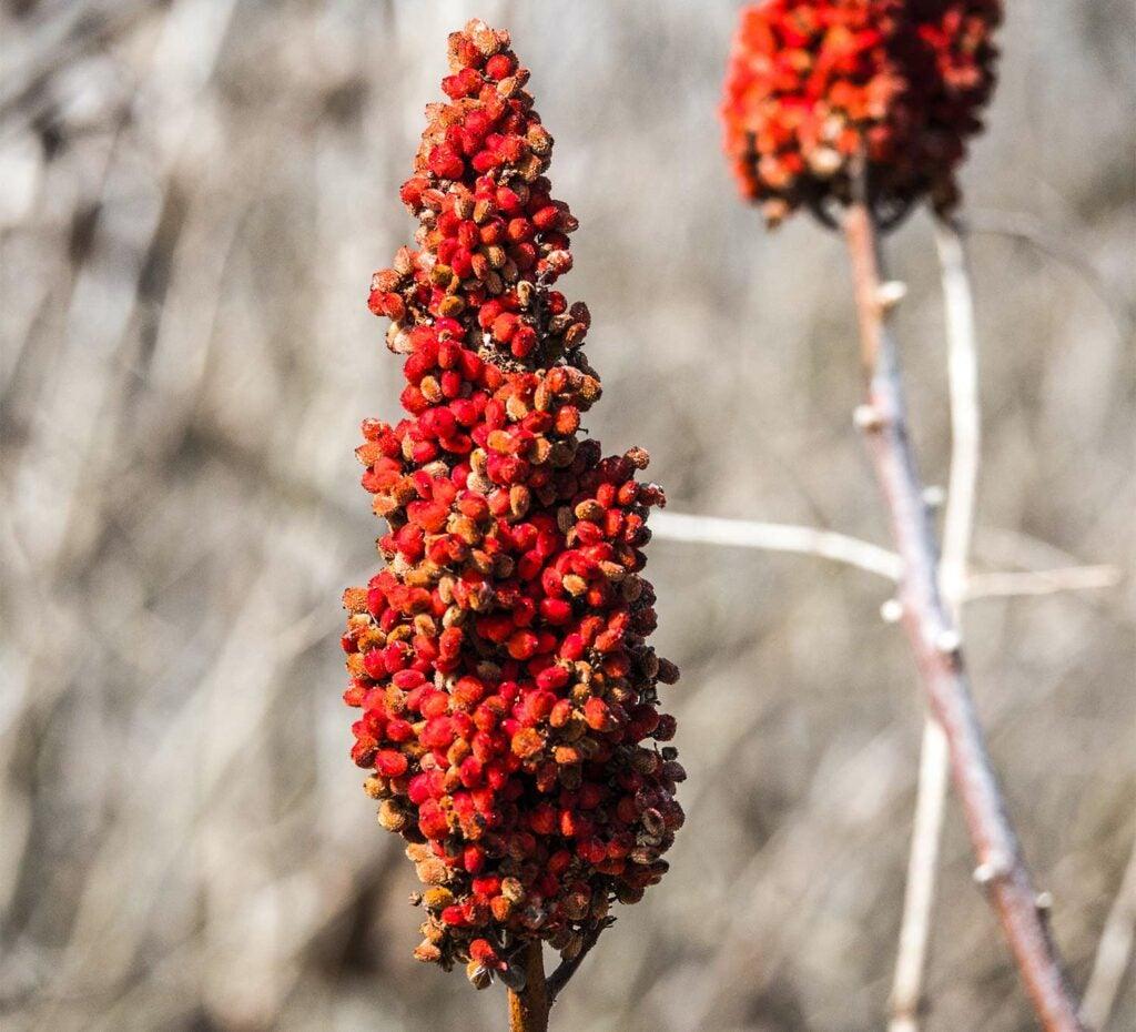 Red sumac flowers.