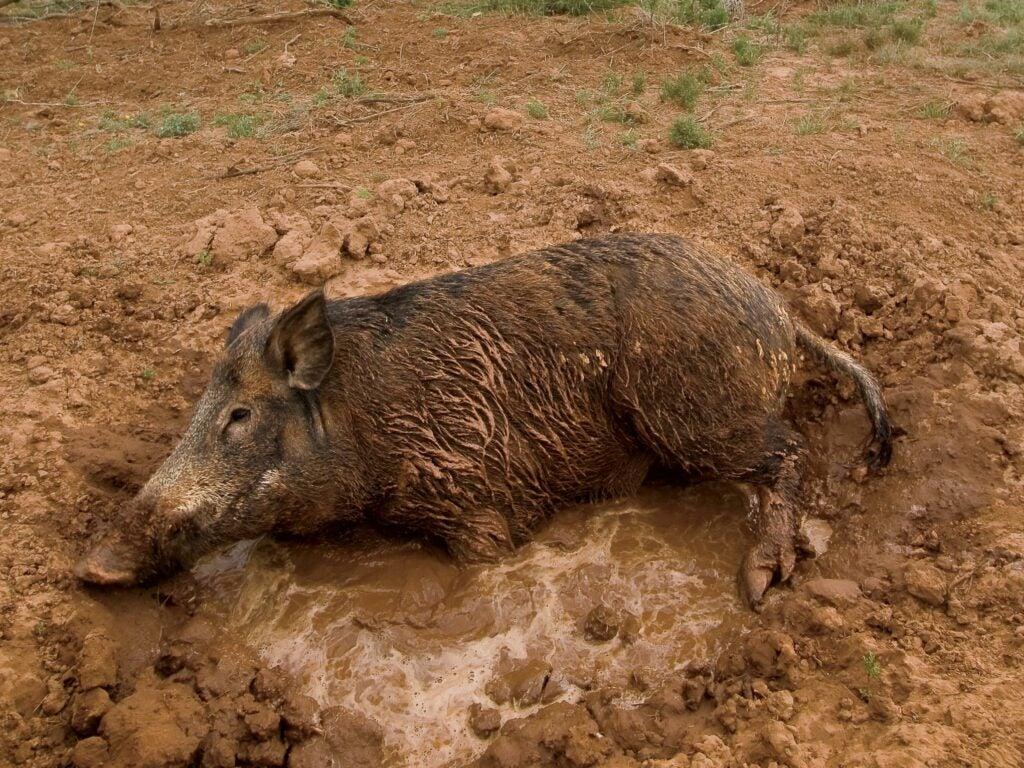A hog rolls in a wallow.