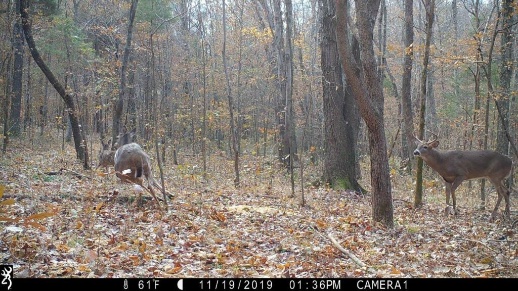 Trail camera photo of a whitetail buck in the woods with doe.