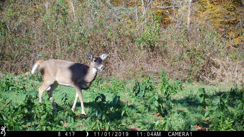 Trail camera photo of a buck walking through a food plot.