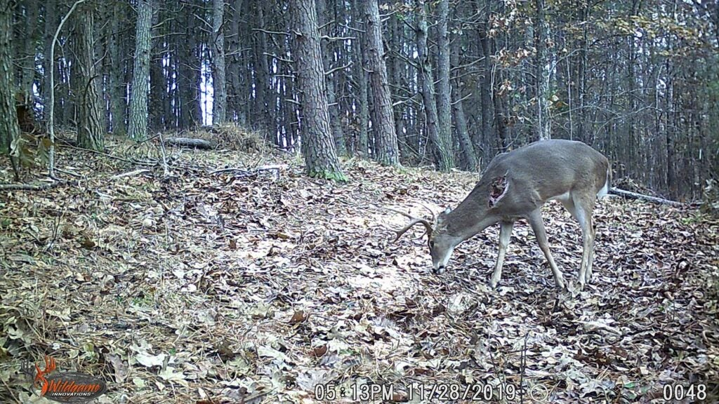 Trail camera photo of a wounded deer.